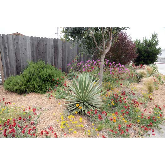 Agave, rosemary, calandrinia, poppies and red sweetpeas