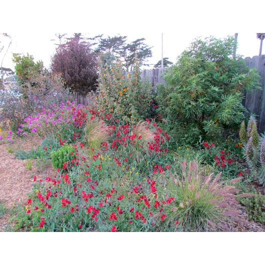 Larger low water shrubs include Purple Hopseed, California Flannel Bush, Catalina Ironwood and Pride of Madeira