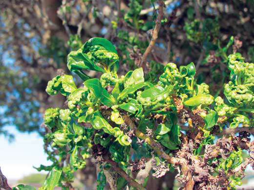 Myoporum Thrip damage