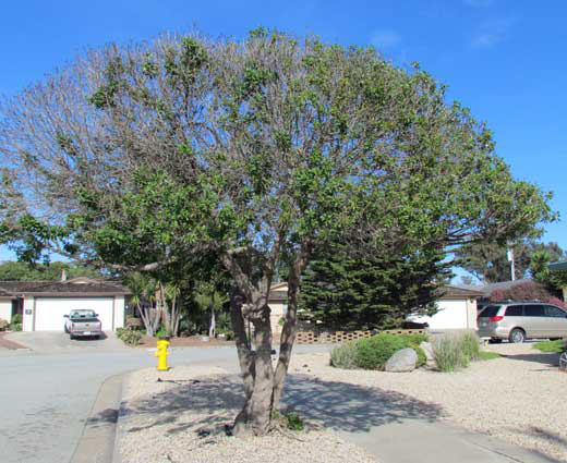Myoporum Thrip infected tree