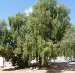 Acacia Salicina